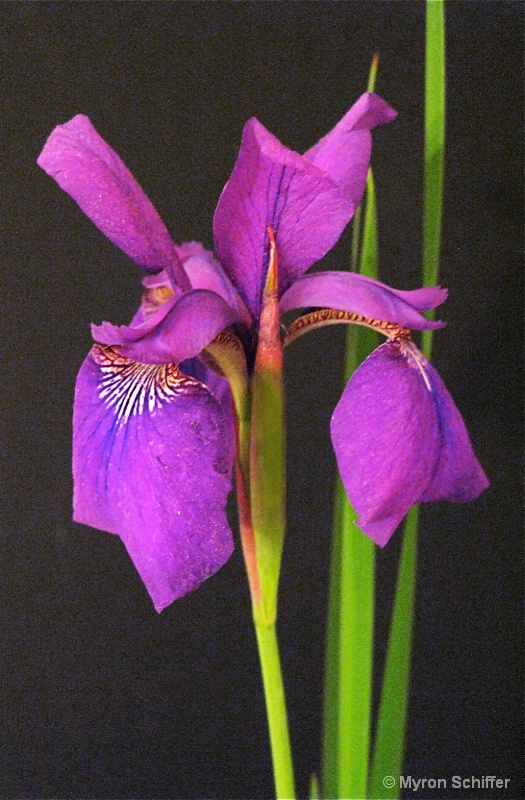 Purple Asian Iris No. 1 - ID: 10003206 © Myron Schiffer