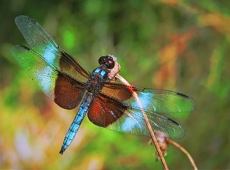 """Tiffany"" dragonfly"
