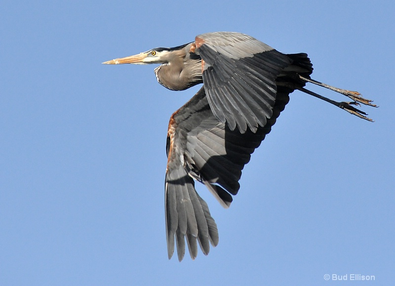 Blue Herron In Flight