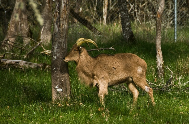 Aoudad, Barbary Sheep, Wildlife Safari-OR - ID: 10026298 © Denny E. Barnes
