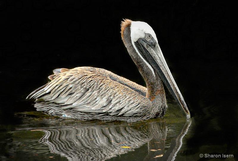 Pelican Sketch