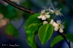 Ornamental Pear a...