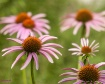 Purple Coneflower...