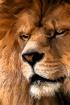 Lion Art 9