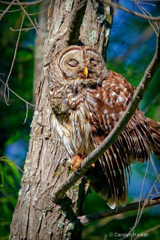 Whooo's Sleepy? - ID: 10053414 © Carolyn Keiser