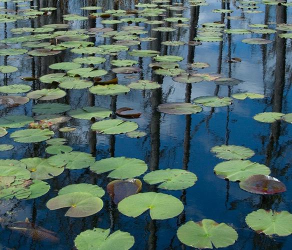 Lily Pads & Reflection, Cypress Gardens - ID: 10057887 © Susan Milestone