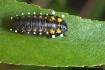 Leaf beetle larva