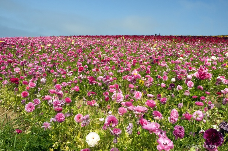 The flower fields in brilliant color