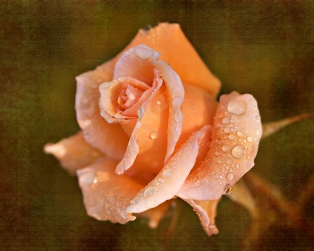 Apricot Beauty