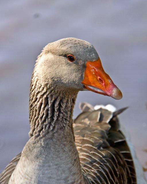 goose - ID: 10079866 © Katherine Sherry