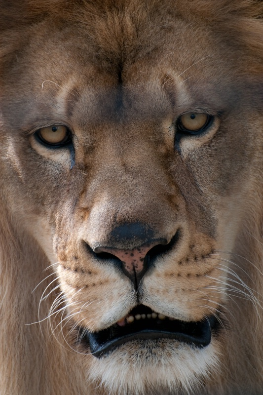 Face to Face with a Lion