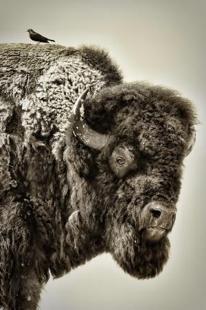 Buffalo with companion