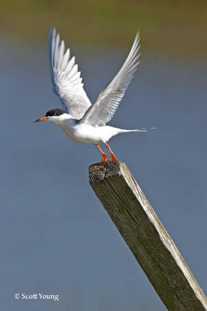 Tern Takeoff; Chincoteague NWR, Va.