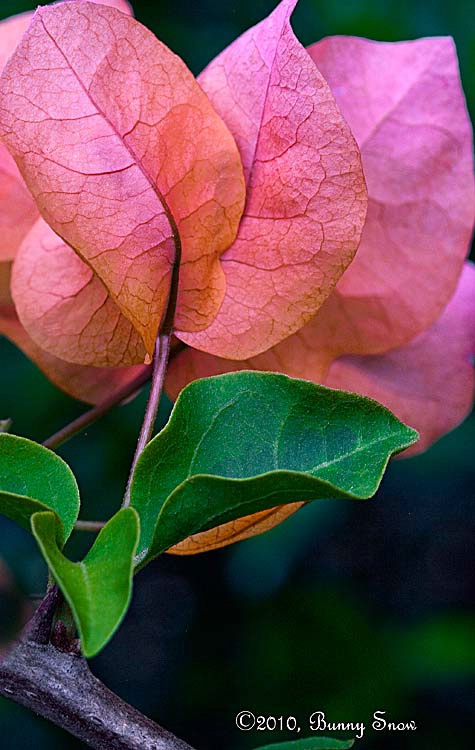 Softly lighted Bougainvillea