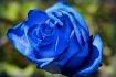 Blue Rose ll