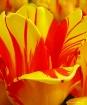 Flamed Tulip Peta...