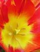 Tulip Heart 2