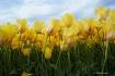 Yellow Tulips Swa...
