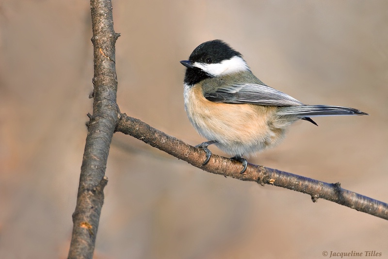Black-capped Chickadee - ID: 10121594 © Jacqueline A. Tilles