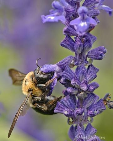 Bee on Sage