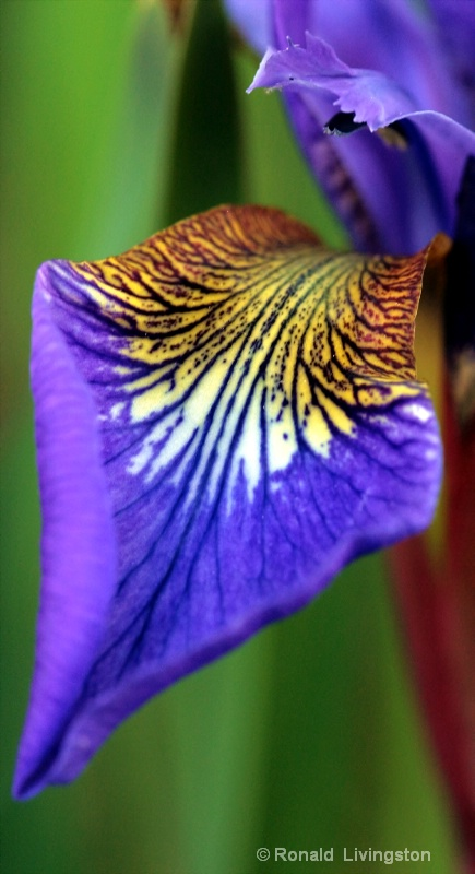 Iris Petal - ID: 10128799 © Ron Livingston