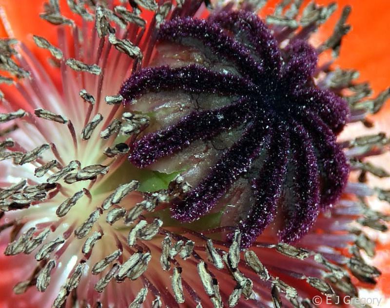 Sea Urchin - ID: 10132661 © Eloise Bartell