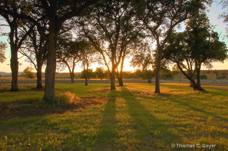 Oak Trees - ID: 10133120 © Thomas C. Geyer