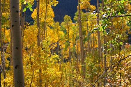 A family of aspens 4