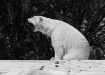 Roaring Polar Bea...