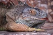 Cheeky lizard