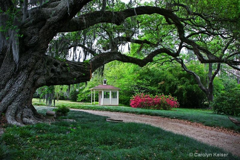 Live Oak Canopy - ID: 10152739 © Carolyn Keiser
