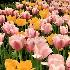© John R. Grede PhotoID # 10159166: tulips