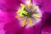 Tulip Heart 4