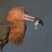 Reddish Egret wit...