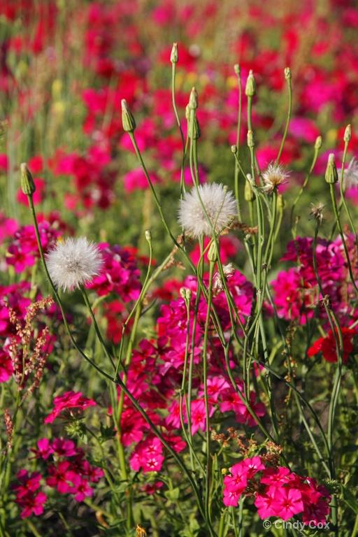 dandelions and phlox  - ID: 10166747 © Cynthia S. Cox