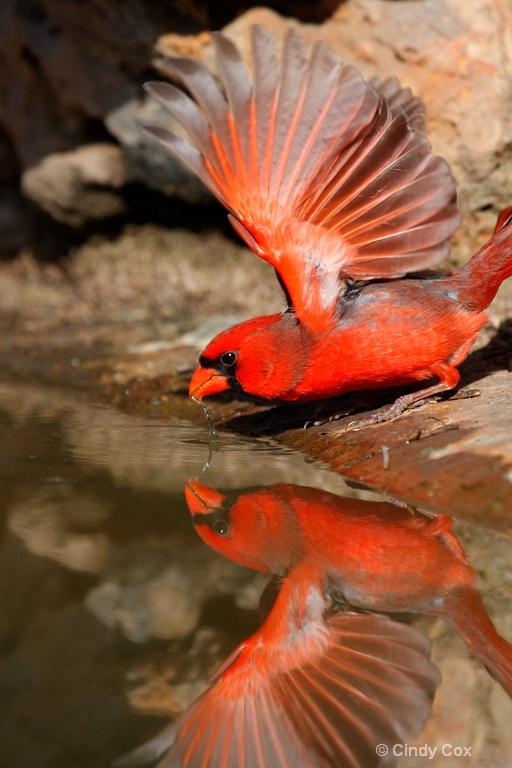 cardinal drinking - ID: 10166749 © Cynthia S. Cox