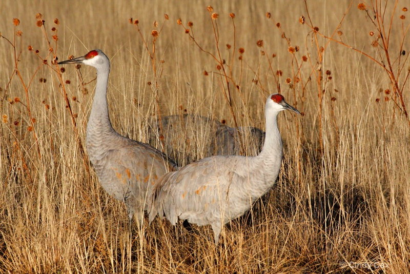 sandhill cranes  - ID: 10166755 © Cynthia S. Cox
