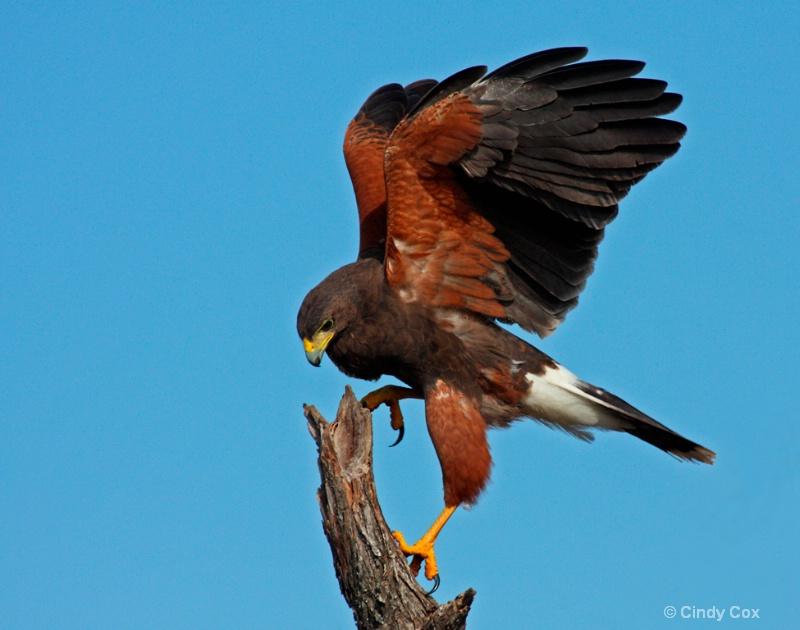 harris hawk landing  - ID: 10166761 © Cynthia S. Cox