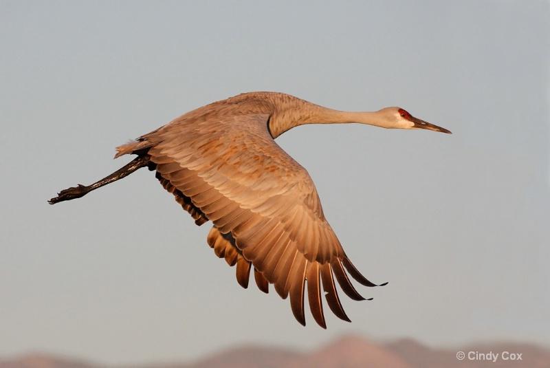sandhill crane in flight  - ID: 10166765 © Cynthia S. Cox