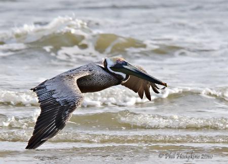Pelican solo