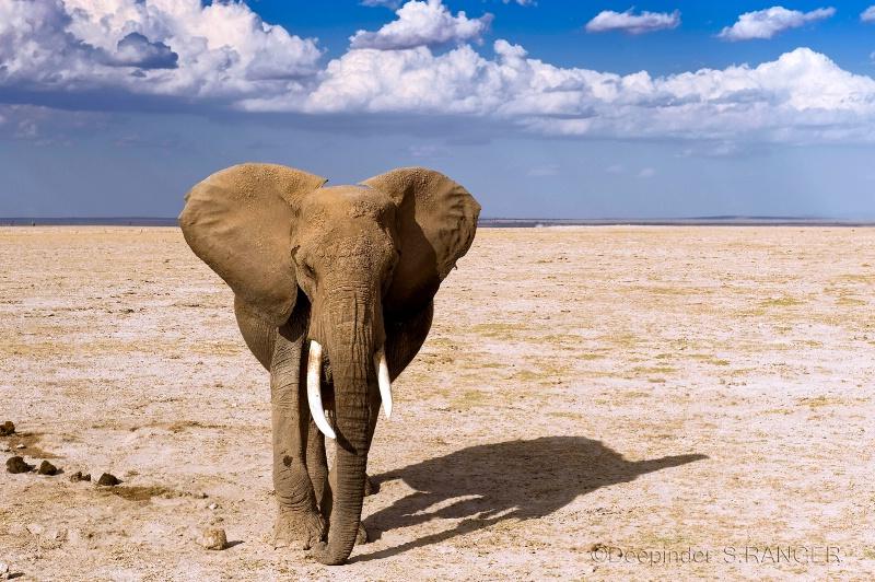 Tusker (Amboseli N.P.-Kenya)