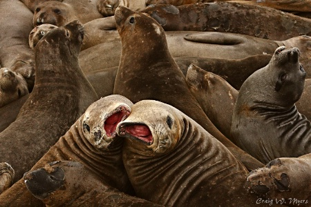 Peeved Pinnipeds