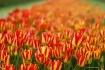 Infinite Tulips