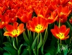 Tulips, tulips, t...