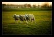 Holland sheep