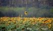 Sunflower fields,...