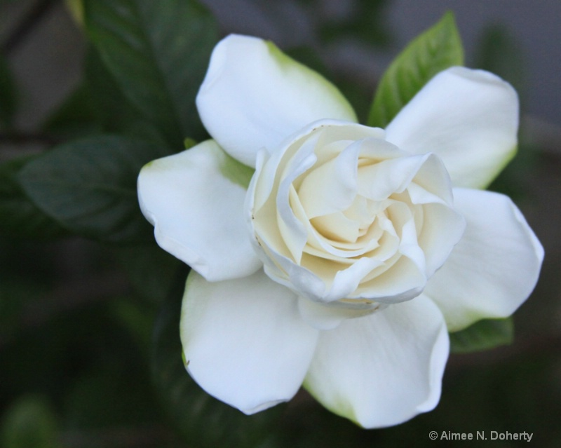Gardenia 4