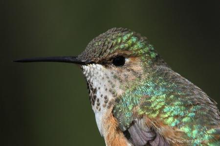 Hummingbird 4286