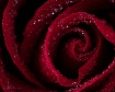 Red Rose Vortex