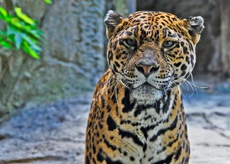 Curious Jaguar.
